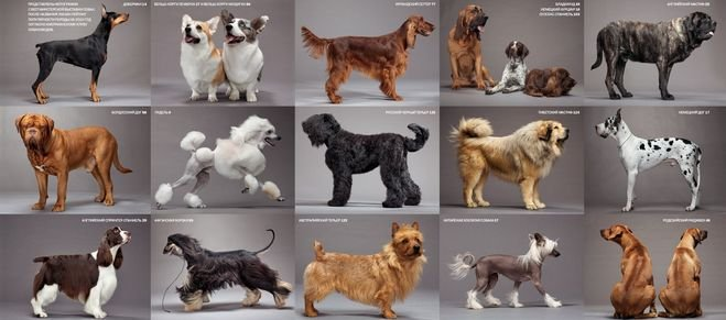 Medium dog breeds list with pictures
